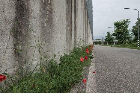 Muro di cinta con sopra filo spinato e sotto papaveri rossi.