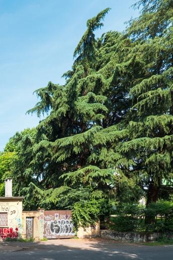 Ecco l'imponente filare di alberi che delimita il giardino dell'ex asilo. Le loro lussureggianti chiome sovrastano il muro divisorio di una fabbrica di cui vediamo il cancello e il civico 107.